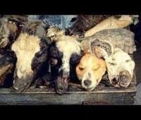 Dog Heads & Cats Used In Nigerian Voodoo Medicine!